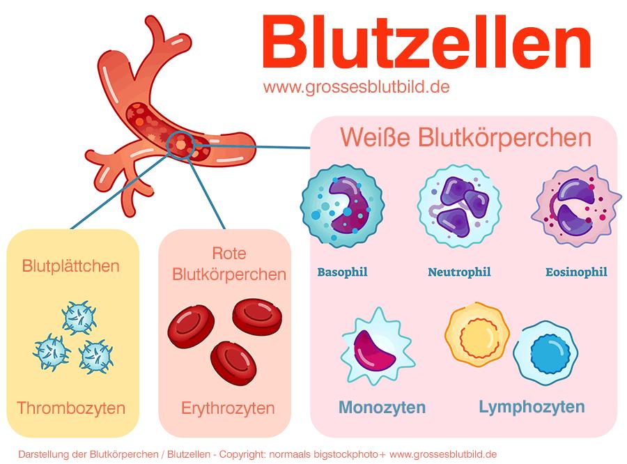 Wie entsteht Blut Was sind Blutkörperchen