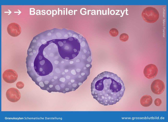 Basophiler Granulozyt