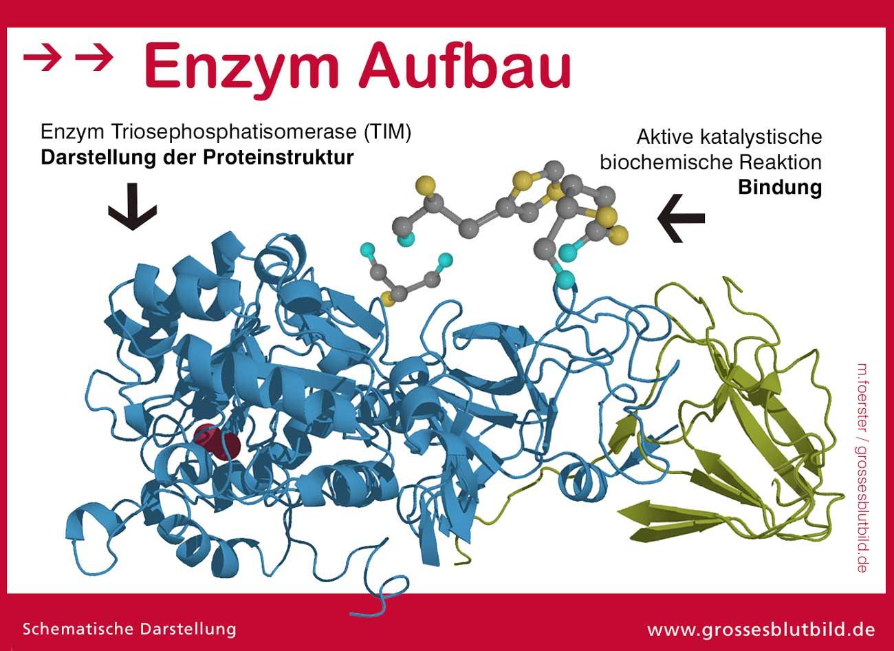 Enzym Aufbau