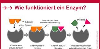Wie funktioniert ein Enzym?