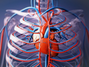 Blutkreislauf im Körper