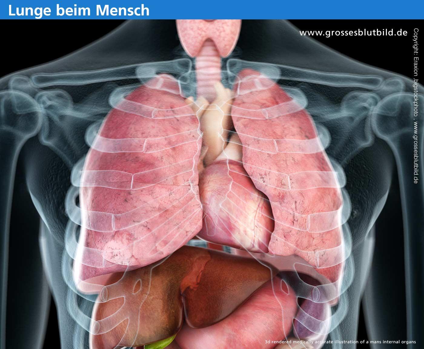 Lungenflügel in der Brust