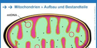 Mitochondrien Zellaufbau