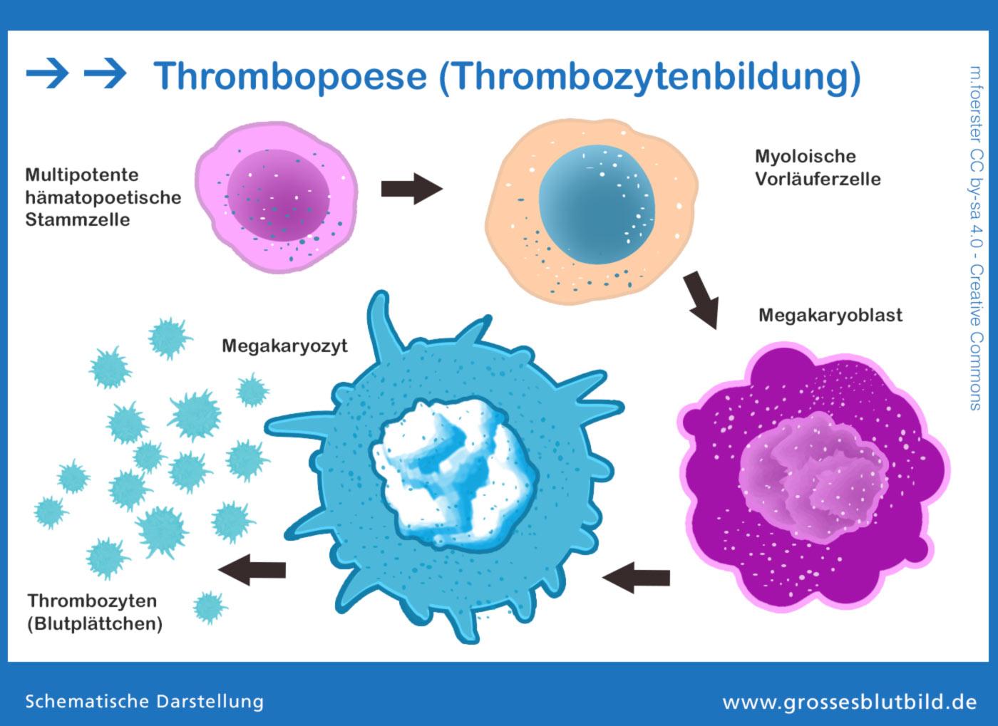 Darstellung der Thrombozytopoese