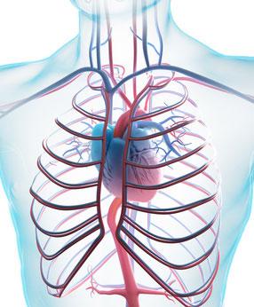 Blutgefäße und Kreislauf