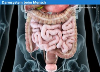Organ Darm Mensch